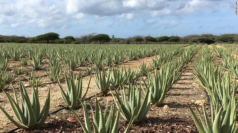 Todo sobre el aloe vera cactus y suculentas for Informacion sobre el cactus