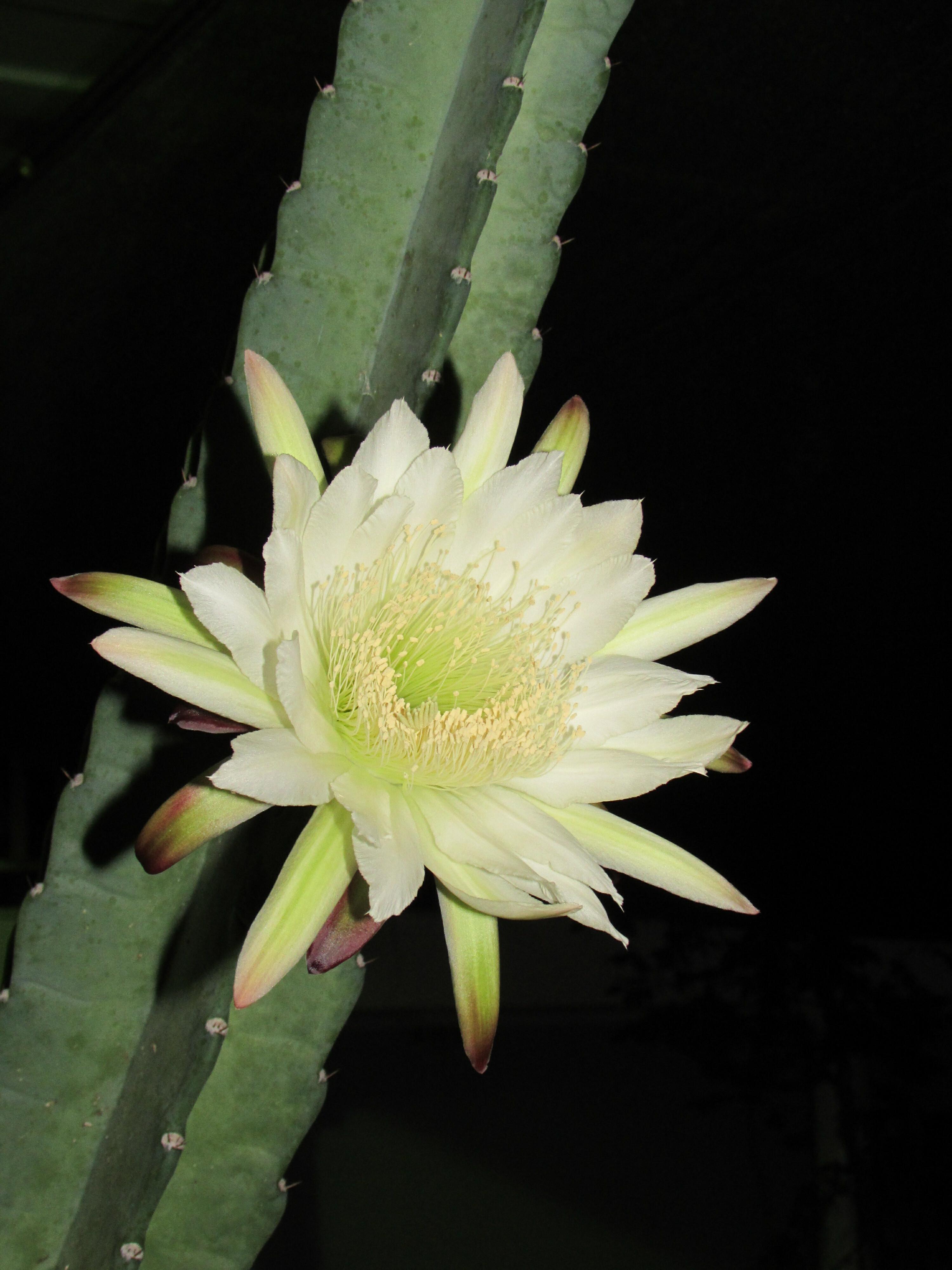 Todo sobre el cactus de san pedro qu es cuidados - Informacion sobre los cactus ...
