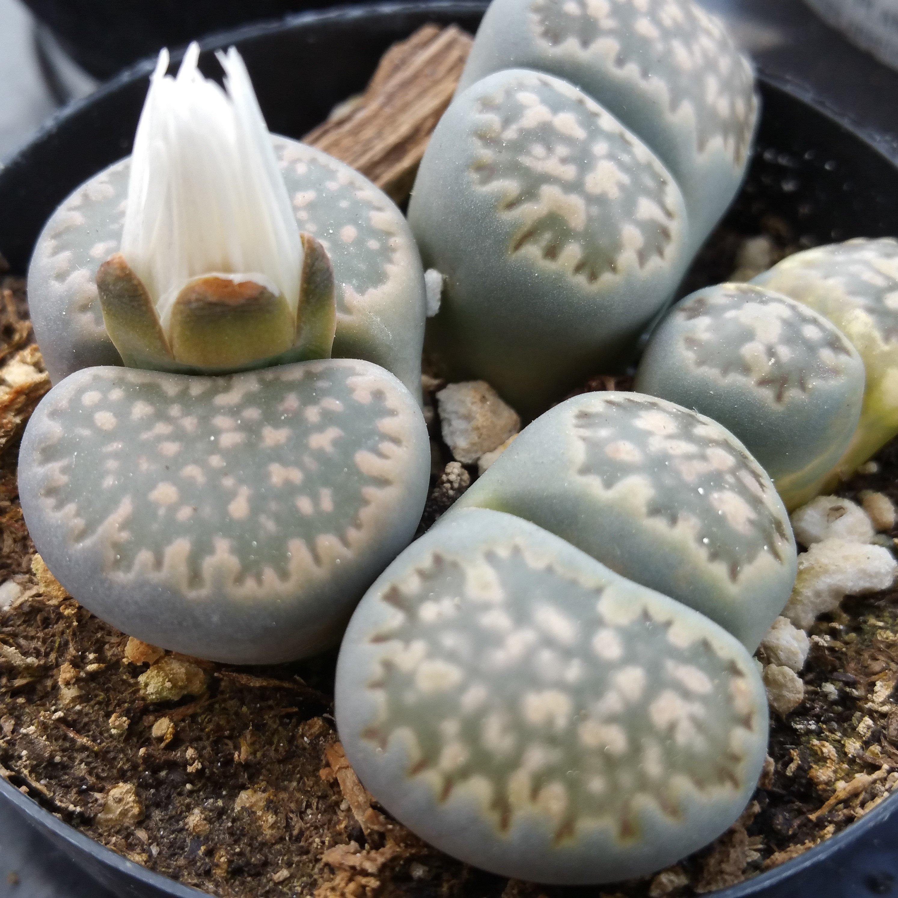 Todo sobre el Lithops o Cactus piedra Cactus y Suculentas