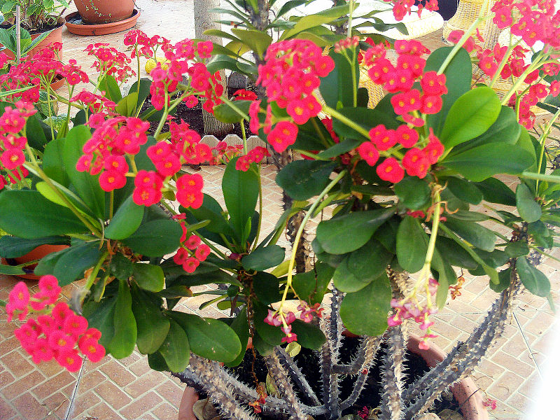 Euphorbia Milii, crasas, suculentas