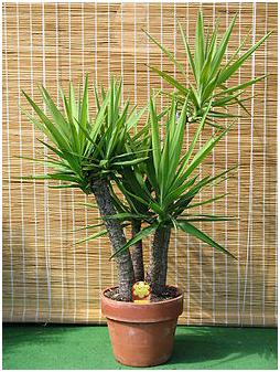 Yuca, cactus, suculentas