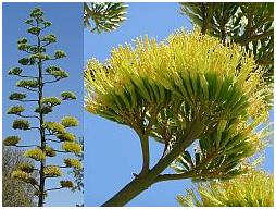 Agave, Pita, cactus y suculentas