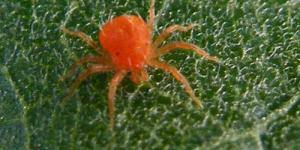 Araña roja, ácaros, plagas
