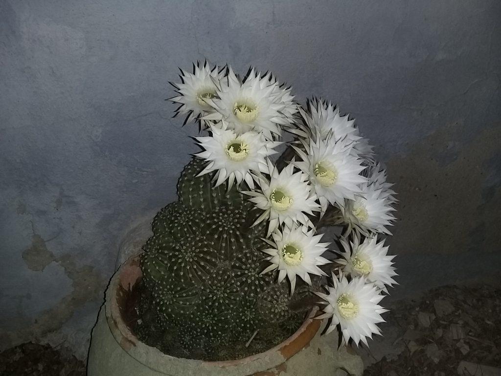 Cactus, Cactáceas