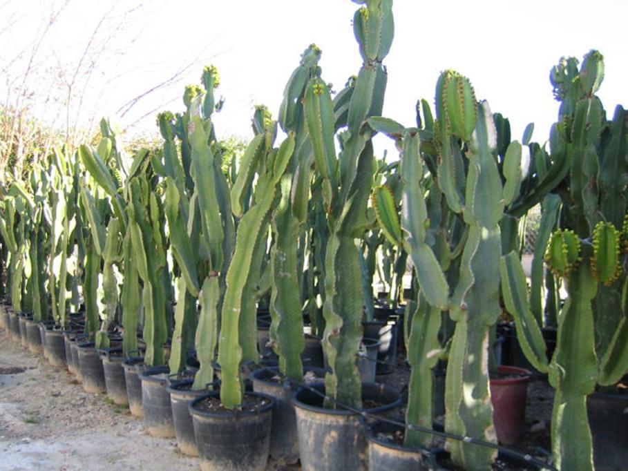 Euphorbia Ingens, arbol candelabro