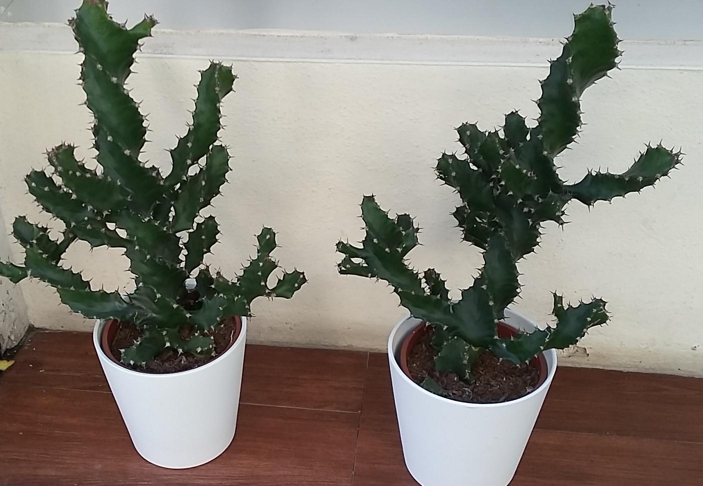 Euphorbia Láctea, crasas, suculentas
