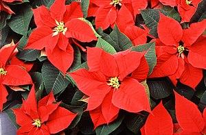 Flor de Navidad, Flor de Pascua, Euphorbia Pulcherrima, Poinsetia
