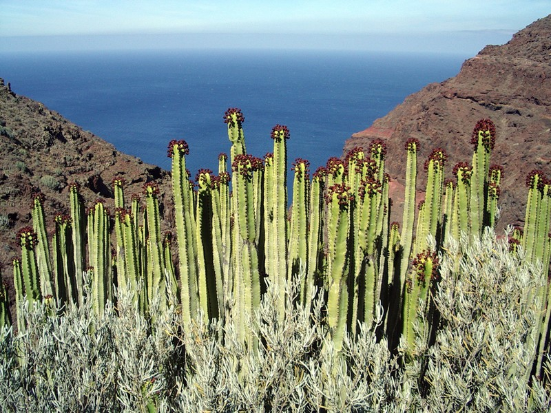 Euphorbia Canariensis, Cardón canario