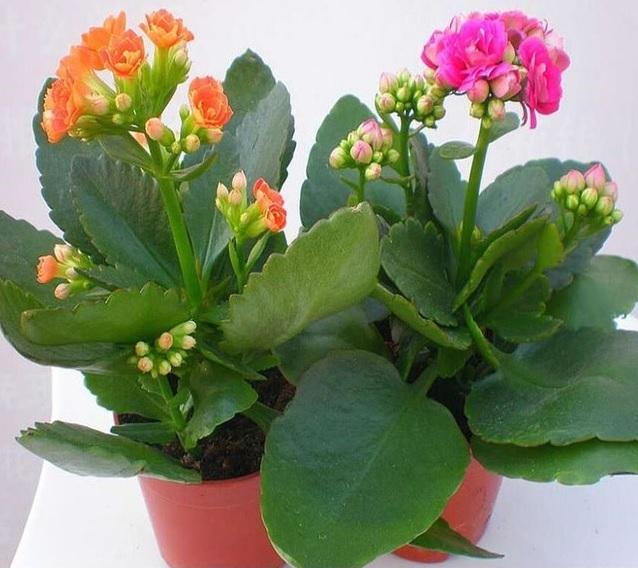 Kalanchoe, cactus, suculentas
