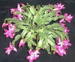 Schlumbergera, cactus, suculentas