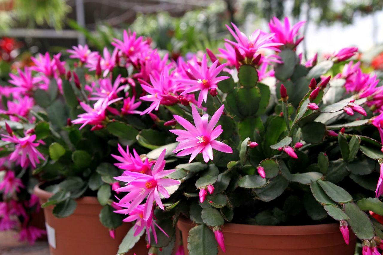 Schlumbergera (Hatiora) o Cactus de Navidad