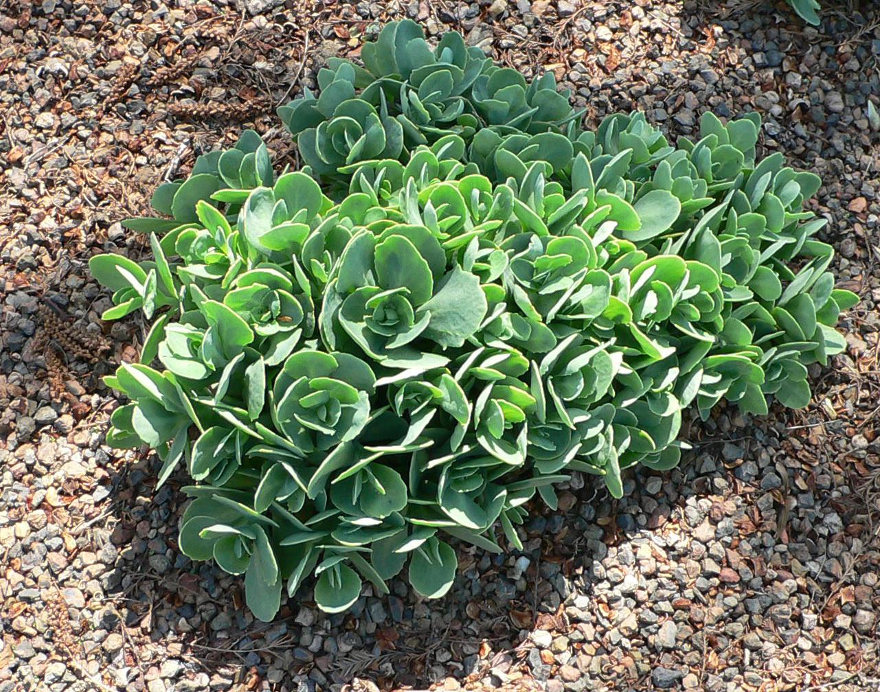 Sedum, Cubiertas vegetales, cubiertas ajardinadas, cubiertas verdes