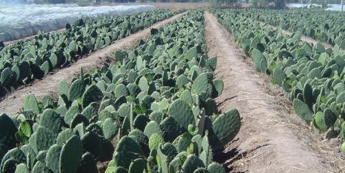 Cultivo de Nopal - Opuntia ficus indica