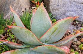 Aloe, Sábila, Acíbar