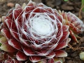 Sempervivum arachnoideum, Sempervivum - Siemprevivas