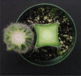 Injertar Cactus