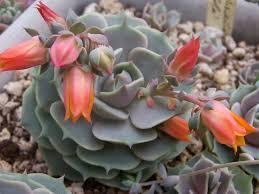 Echeveria Lilacina, Crasa, Suculenta