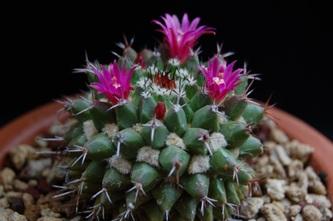Cactáceas, Cactus, Crasas, Suculentas