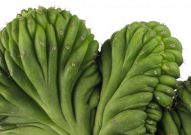 Cactus Cerebro-Cactus San Pedro Crestado. Echinopsis Pachanoi cristata