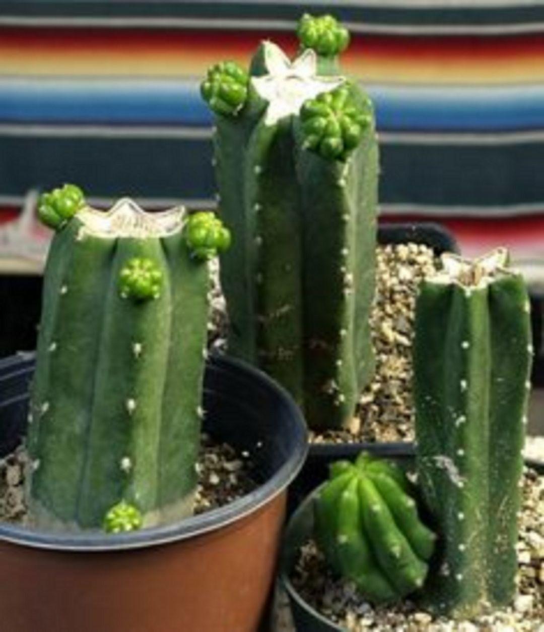 Echinopsis pachanoi. Cactus de San Pedro.