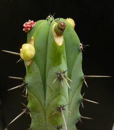 Echinopsis pachanoi. Cactus de san Pedro
