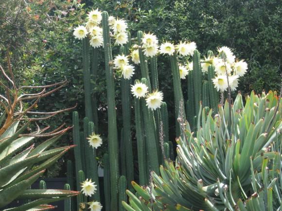 Cactus de San Pedro, Echinopsis Pachanoi, Trichocereus Pachanoi, Achuma, Wachuma