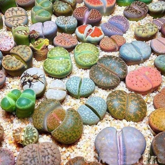 Lithops o Cactus piedra