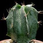 Astropythum ornatum. Cactus estrella.