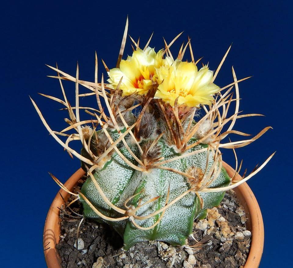 Cactus estropajo o Astrophytum capricorne