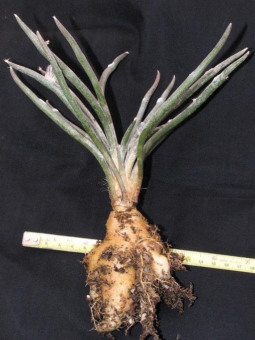 Cactus Digitostigma Astrophytum Caput-medusae