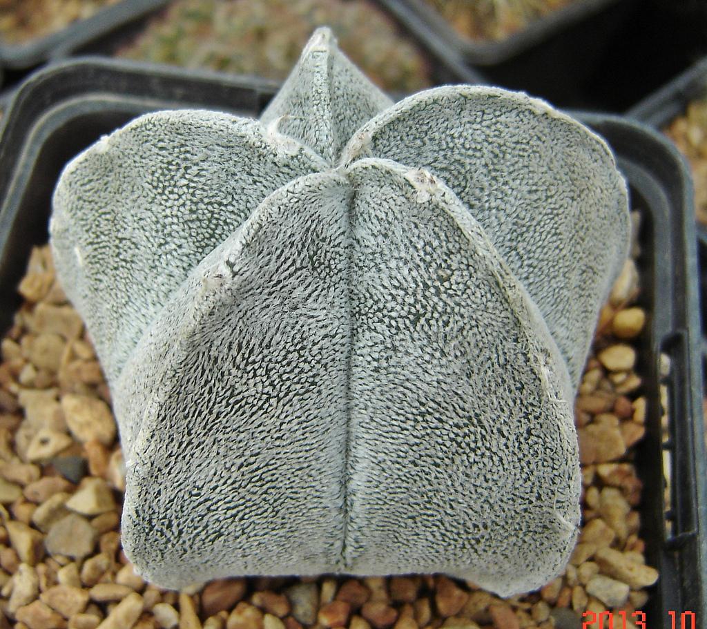Cactus Bonete de Obispo o Astrophytum Coahuilense