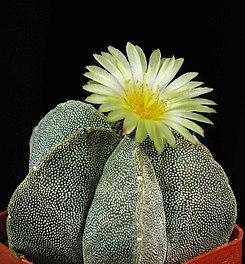 Astrofito, Astrophytum myriostigma
