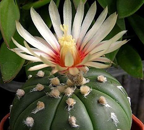 Cactus Peyotillo. Astrophytum asterias.
