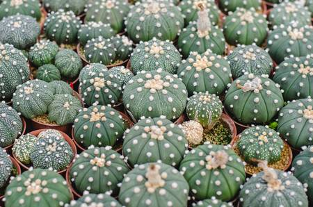 Cactus Peyotillo. Astrophytum asterias