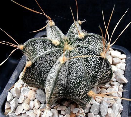 Cactus estropajo o capricorne. Astrophytum capricorne.