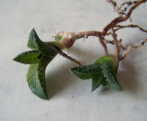 Haworthias