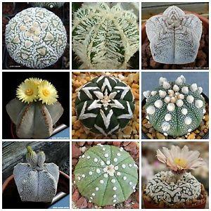 Astrophytum - Cactus estrella
