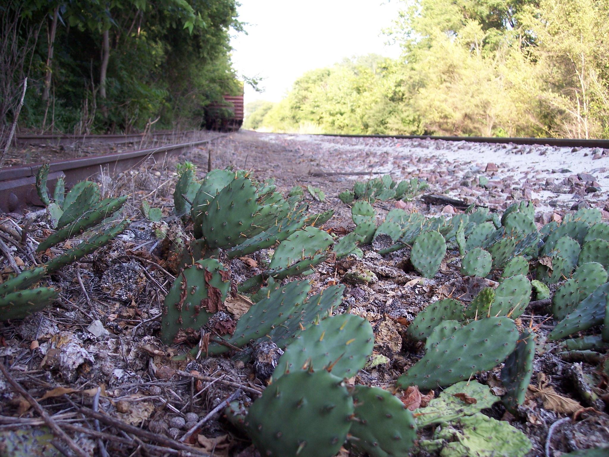 Opuntia humifusa junto a las vias del tren