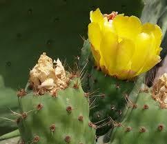 Flor Opuntia ficus indica. Chumbera