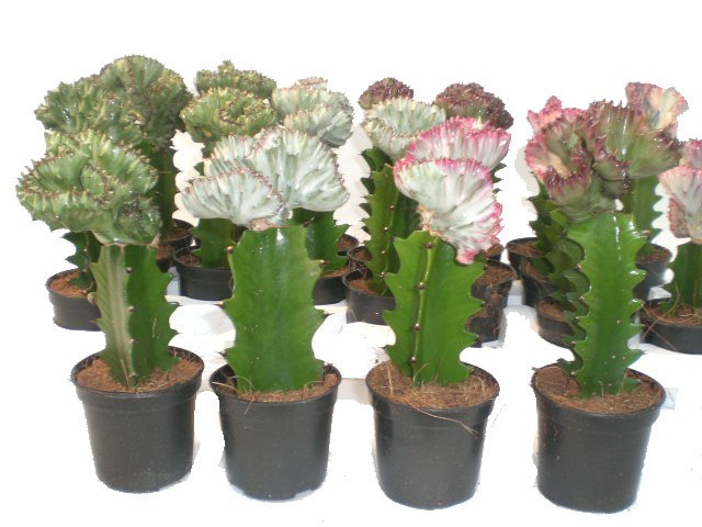 Euphorbia Láctea cristata