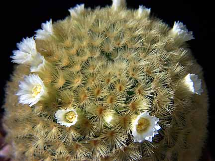 Mammilaria carmenae - flor