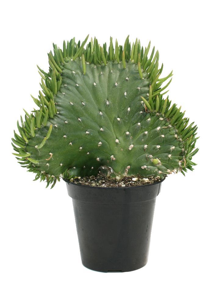 Opuntia subulata-cristata