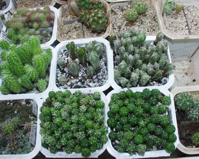 Semillero de cactus variados