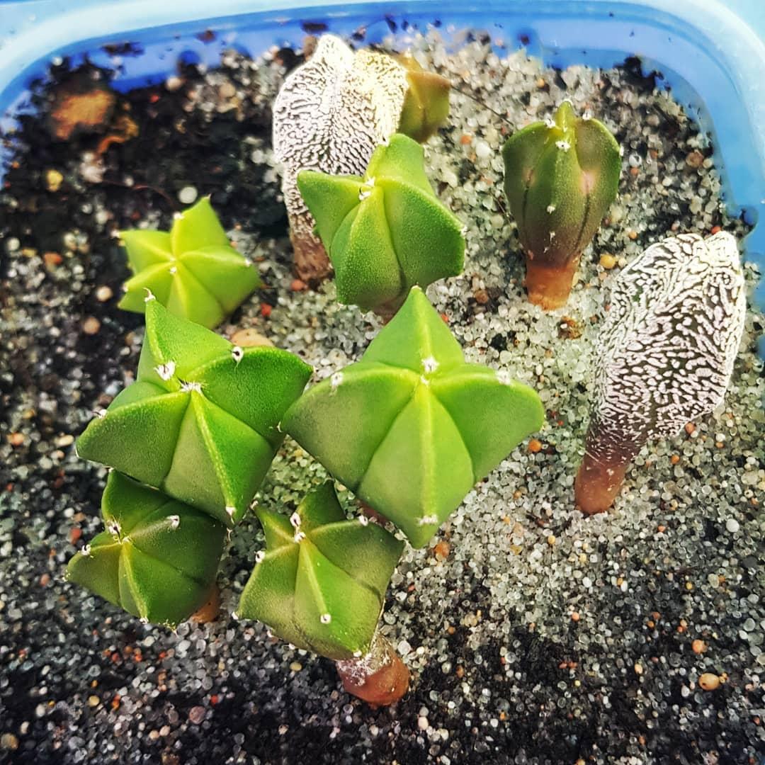 Semillero de cactus