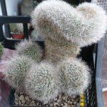 Mammillaria bocasana splendens cristata