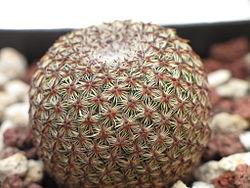 Mammillaria crucigera