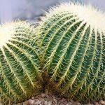 Género Echinocactus