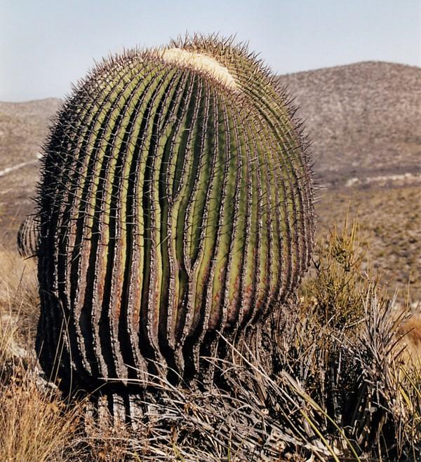 Echinocactus Platycanthus