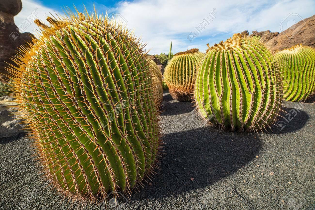Echinocactus platyacanthus.
