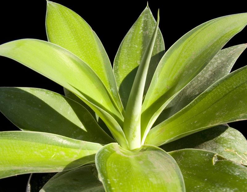 Agave attenuata variegata